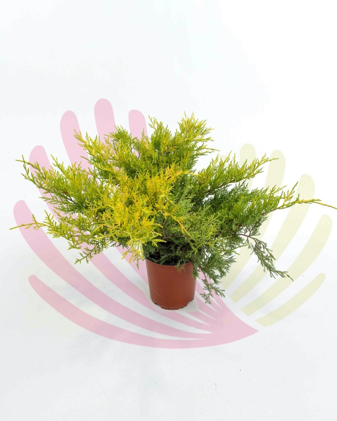 Juniperus media Old Gold