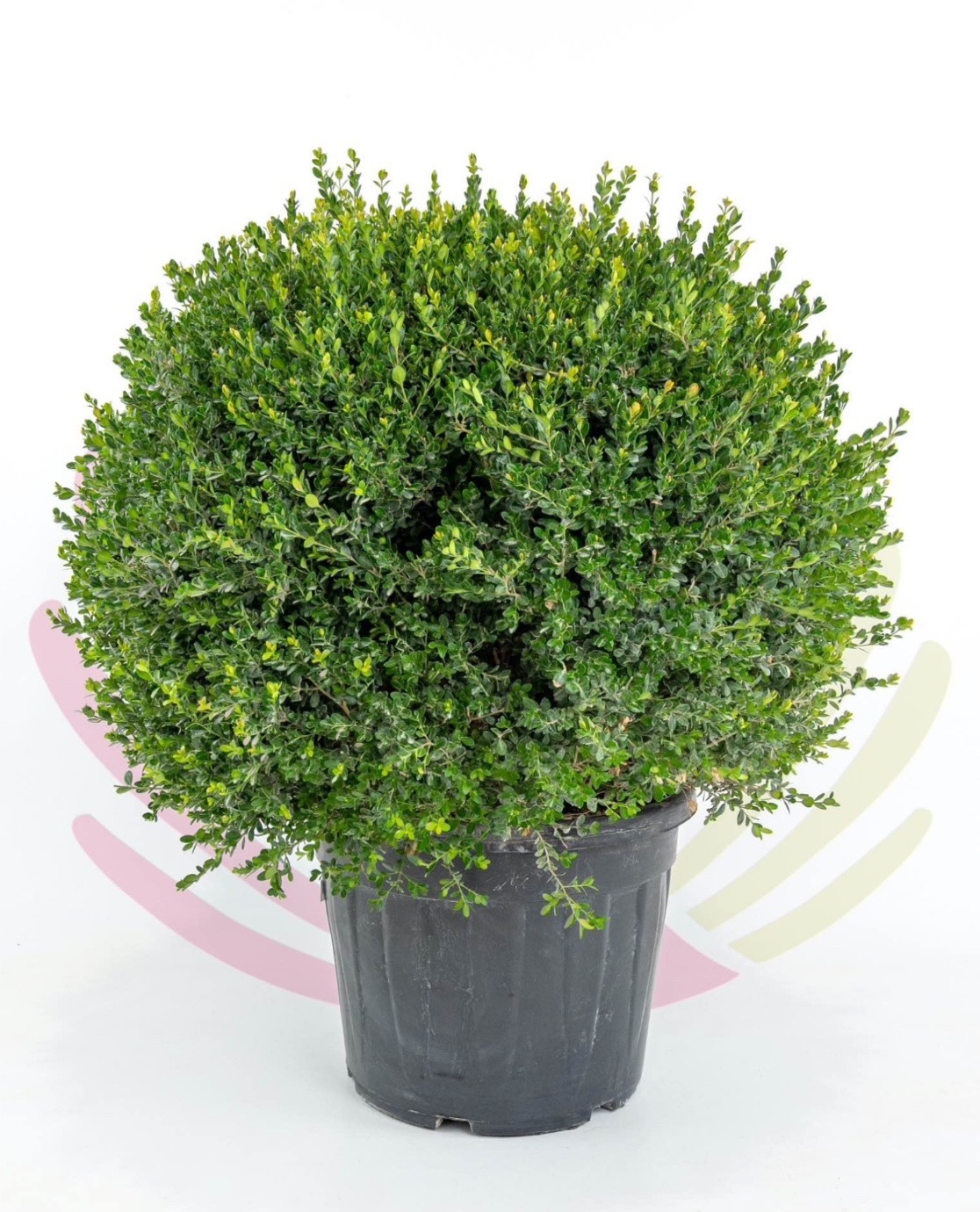 Buxus microphylla Faulkner (Bola) 70L