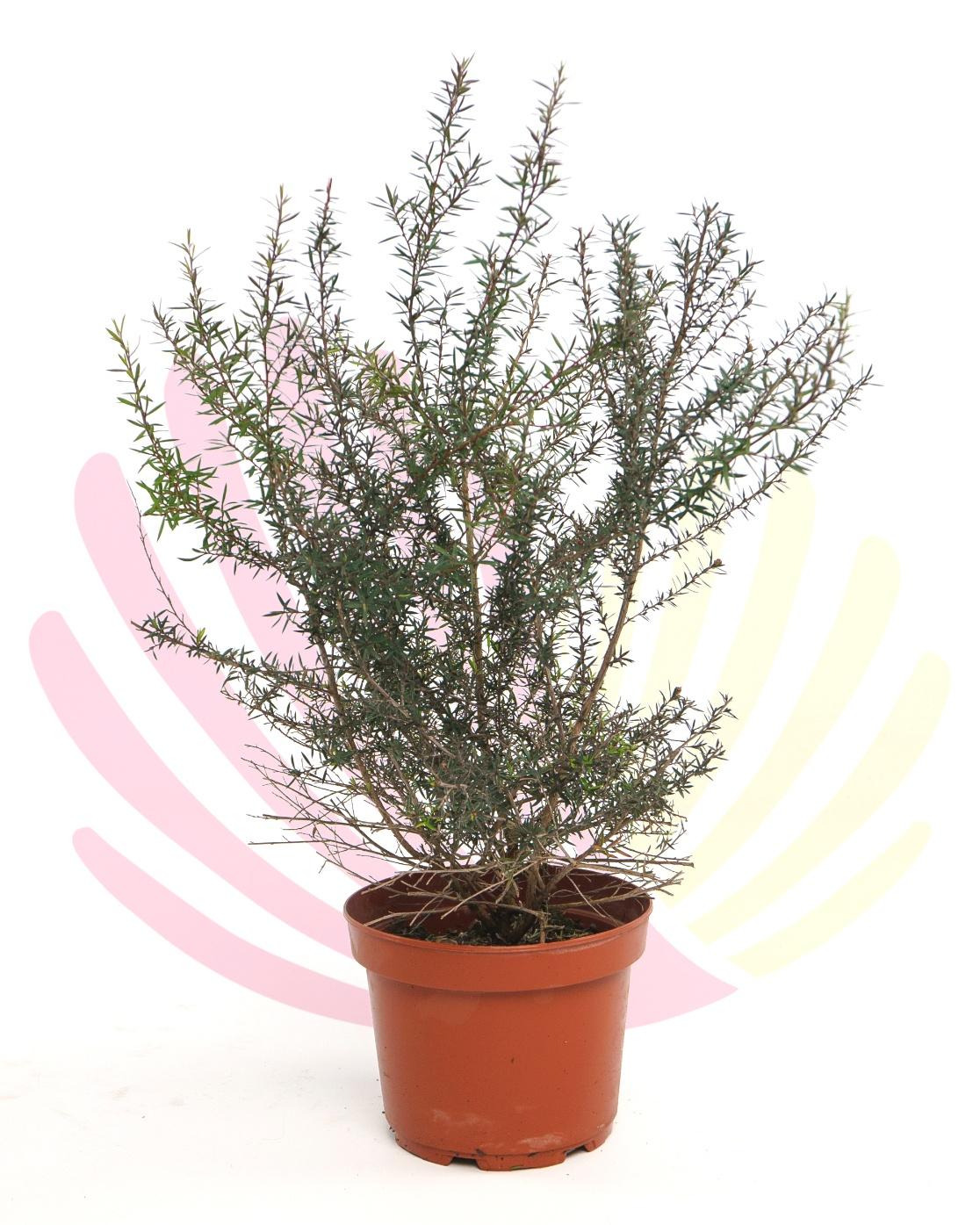 Leptospermum scoparium Red